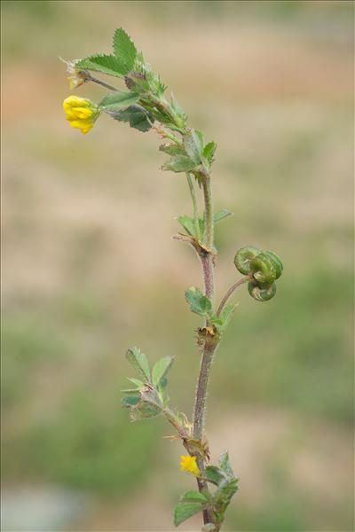 Medicago italica subsp. striata (Bastard) Greuter & Burdet