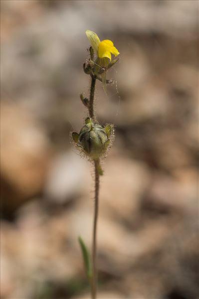 Linaria simplex (Willd.) DC.