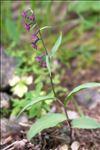 Photo 7/8 Epipactis atrorubens (Hoffm.) Besser