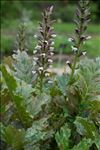 Photo 3/6 Acanthus mollis L.