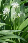 Photo 5/8 Allium ursinum L.