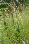 Photo 1/2 Epipactis helleborine (L.) Crantz