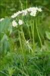 Anemone narcissiflora L.