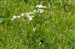 Photo 1/2 Anemone narcissiflora L.