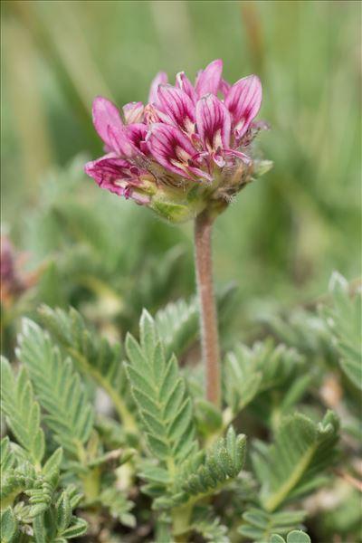 Anthyllis montana L.