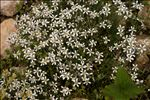 Photo 5/5 Arenaria grandiflora L.