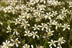 Photo 4/5 Arenaria grandiflora L.