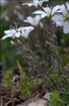 Photo 3/5 Arenaria grandiflora L.