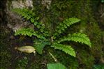 Photo 2/2 Asplenium fontanum (L.) Bernh.