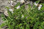 Photo 2/4 Astragalus alpinus L.