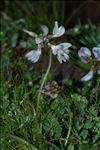 Photo 4/4 Astragalus alpinus L.