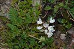 Photo 3/4 Astragalus alpinus L.