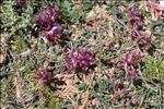 Astragalus monspessulanus L.