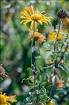Buphthalmum salicifolium L. subsp. salicifolium