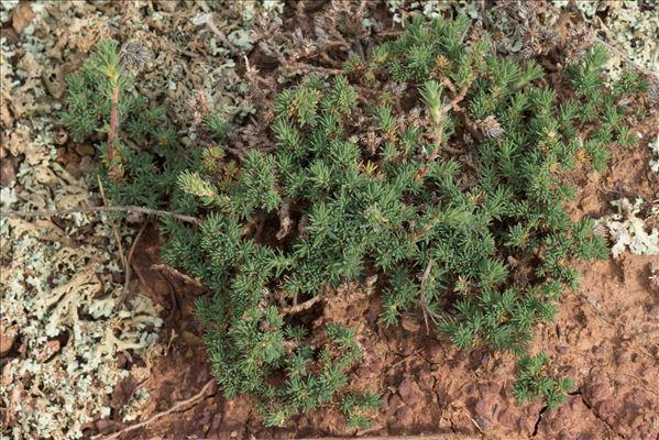 Camphorosma monspeliaca L.