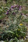 Carduus carlinoides Gouan