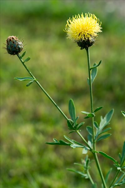 Centaurea collina L.