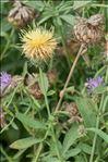 Photo 2/3 Centaurea collina L.