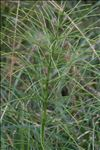 Photo 2/3 Equisetum arvense L.