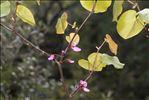 Photo 2/2 Cercis siliquastrum L.