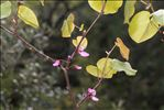 Photo 2/2 Cercis siliquastrum L.
