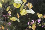 Photo 1/2 Cercis siliquastrum L.