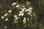 Photo 7/8 Cistus populifolius L.