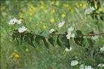 Photo 5/8 Cistus populifolius L.