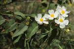 Photo 2/8 Cistus populifolius L.