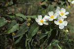 Photo 1/8 Cistus populifolius L.