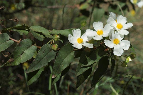 Cistus populifolius L.