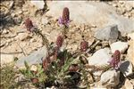 Photo 1/7 Coris monspeliensis L.