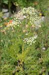 Coristospermum lucidum (Mill.) Reduron, Charpin & Pimenov