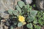 Crepis pygmaea L.