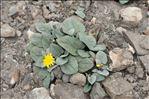 Photo 1/1 Crepis pygmaea L.