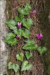 Photo 2/6 Cyclamen repandum Sm.