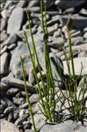 Equisetum ramosissimum Desf.