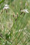 Dianthus furcatus Balb.