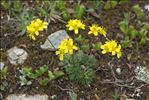 Photo 2/3 Draba aizoides L.
