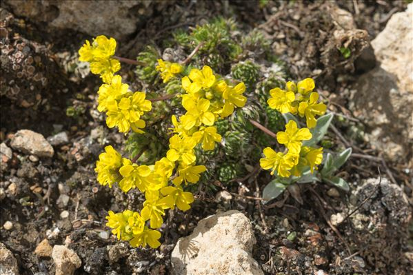 Draba aizoides L.