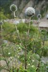 Echinops sphaerocephalus L.