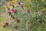 Photo 4/10 Echium creticum L.