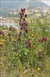Photo 3/10 Echium creticum L.