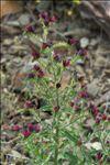 Photo 1/10 Echium creticum L.