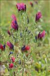Photo 9/10 Echium creticum L.