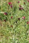 Photo 7/10 Echium creticum L.