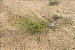 Ephedra distachya L. subsp. distachya