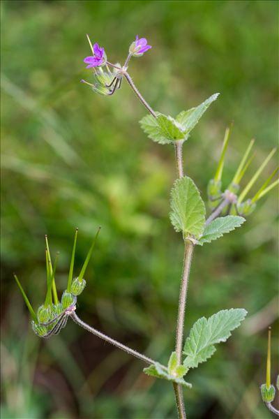 Erodium malacoides (L.) L'Hér.