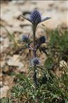 Eryngium bourgatii Gouan