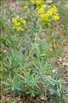 Euphorbia nicaeensis All.